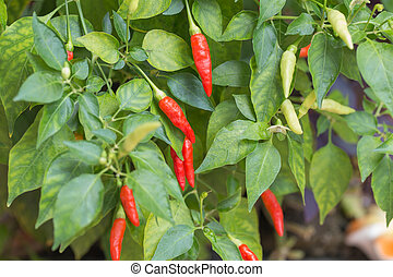 Red Chili pepper in backyard garden