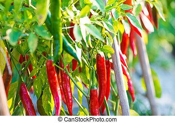 Red chili pepper in farm
