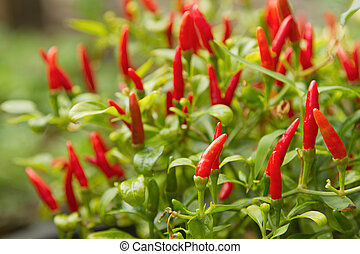 Red chili pepper plant