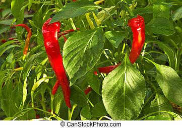 Red chilly pepper plant close up
