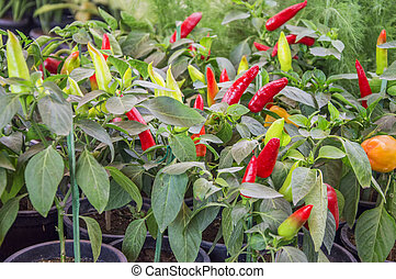 Red chilly plants in the garden with leaves
