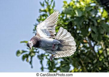 red choco speed racing pigeon bird flying mid air