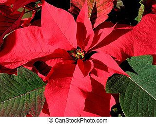 Red Christmas poinsettia 3
