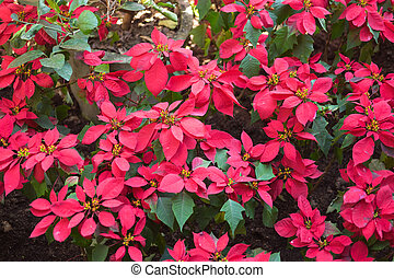 Red Christmas poinsettia flowers