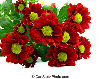 red chrysanthemum bouquet isolated on white