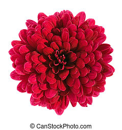 red chrysanthemum flower isolated with clipping path