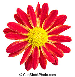 Red chrysanthemums daisy flower isolated on white with clipping path