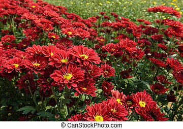 red chrysanthemums in the garden