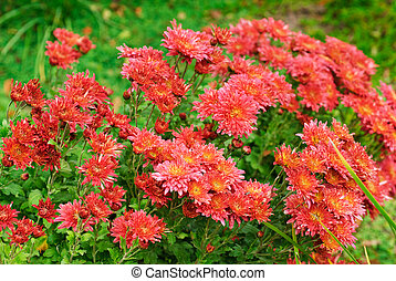 red chrysanthemums on green leaves background