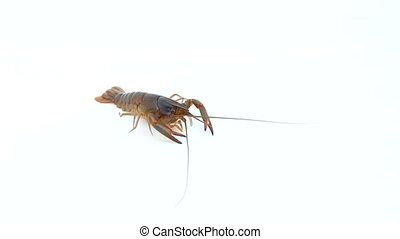 Red claw Crayfish on isolated