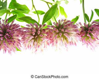 red clover - Close-up of violet clover flower against white ...