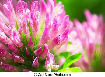 Clover Flower Macro - Red Clover Flower Macro