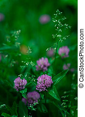 Red clover growing on a meadow