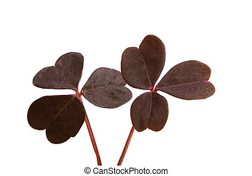 red clover leaves isolated