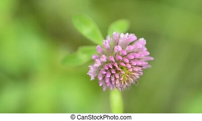 Red clover, medicinal plant closeup and macro of flower