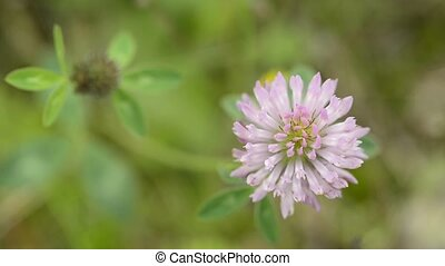 red clover, medicinal plant