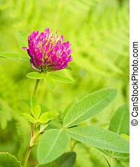 Red Clover (trifolium pratense) flowerhead