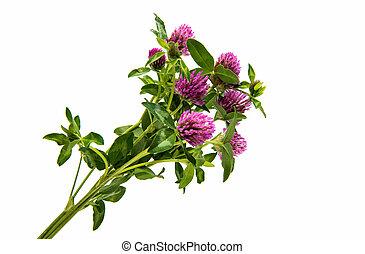 Red Clover (Trifolium pratense) isolated