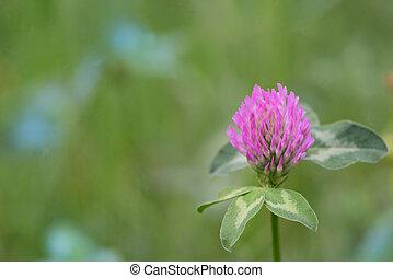 Red Clover - Trifolium Pratense on field