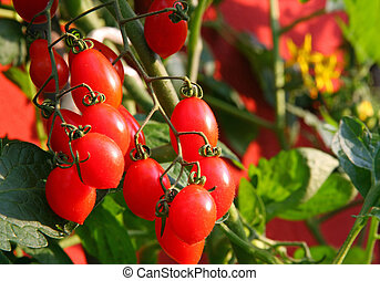 Red cluster tomato plant and the yellow flowers in the...