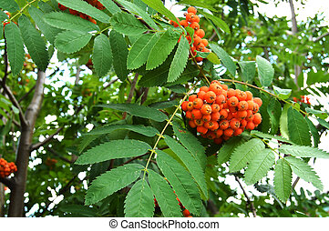 Red clusters of Rowan branch in the autumn garden