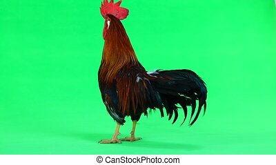 red cock on green screen