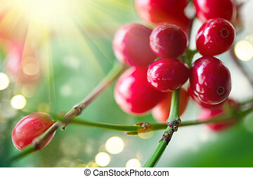 Red coffee beans growing on a branch of coffee tree
