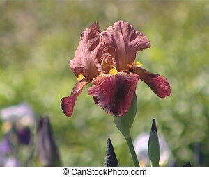 Red color iris flower closeup