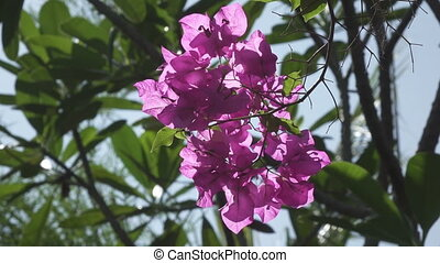 Red coloured Bougainvillea flowers sway in Kishkindha...