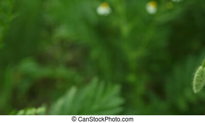 Red common poppy flower wildflower on green meadow. Full HD...