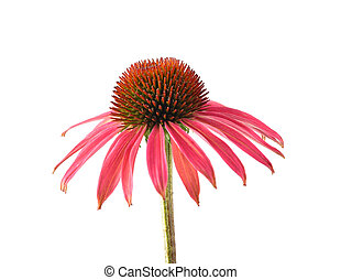 Red coneflower isolated on white background