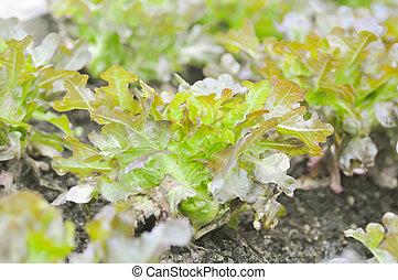 red coral lettuce ,lettuce in the vegetable garden