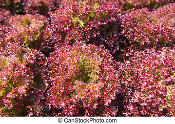 red coral lettuce salad growing garden hydroponic farm salad plants on water without soil agriculture in the greenhouse organic