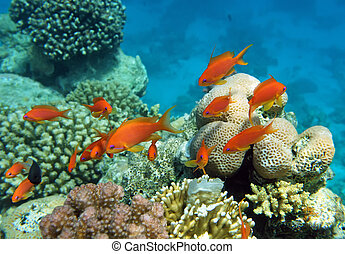 Red coral perch of the Red Sea corals