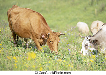 Red cow eating grass at the foot of the mountain on a green meadow
