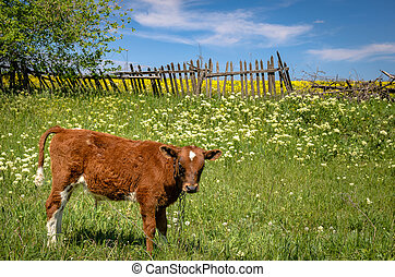Red cow grazing in a meadow against the old wooden fence