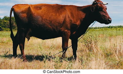 Red cow grazing in meadow and eating green, juicy grass -...