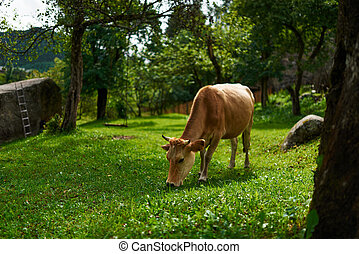 red cow grazing in yard on the lawn, eating grass.