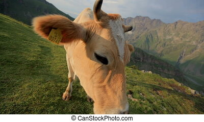 Red cow grazing on a mountain pasture