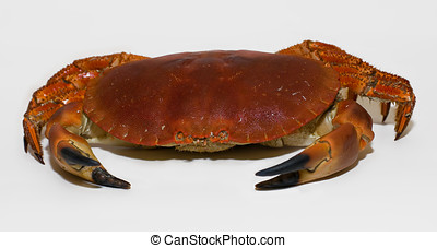 Red Crab - A crab on the white background