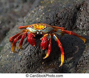 red crab on the rock, galapagos islands