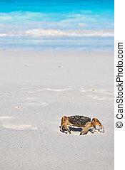 red crab(poo kai) on beach ,Tachai island, Similan island...