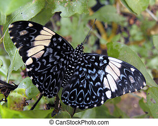 Red Cracker Butterfly - Red Cracker (Hamadryas amphinome)...