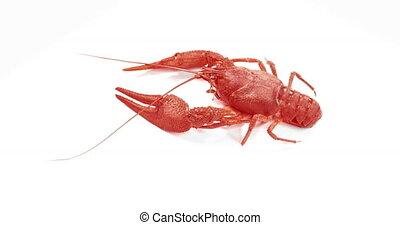 Red crayfish Walking on White Background.