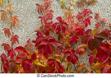 Red creeper leaves on the stone wall of a building