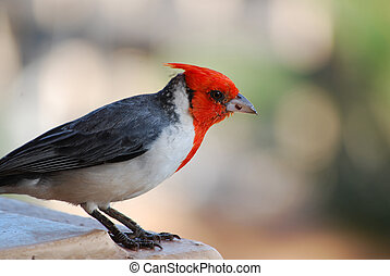 Red Crested Cardinal with a sharp Beak - Beautiful look at a...