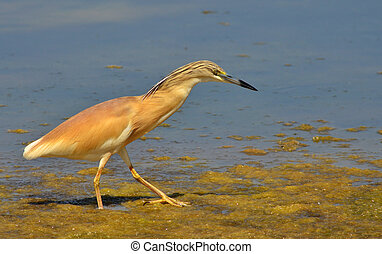 red crested heron hunting preys  in the marsh