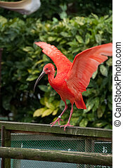 Red Crested Ibis