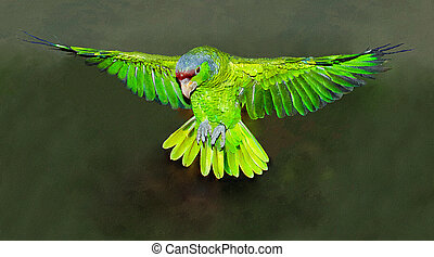 Red-crowned Amazon Parrot in Flight_Amazona viridigenalis