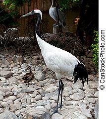 Red-crowned Crane or Japanese Crane. Dalian zoo. China.